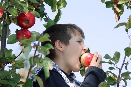 Boy eating an apple in apple tree photo