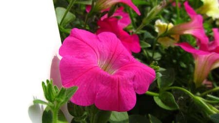 specular: morning glory flower  Stock Photo