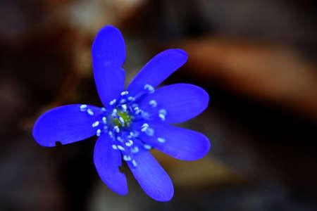 tavasz,virág, kék,makro, mezei
