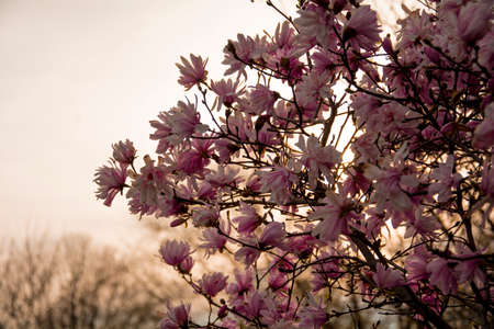 natue: Tree with Pink Flowers during the Sunset