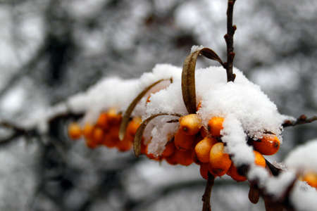 sea buckthorn in the snow