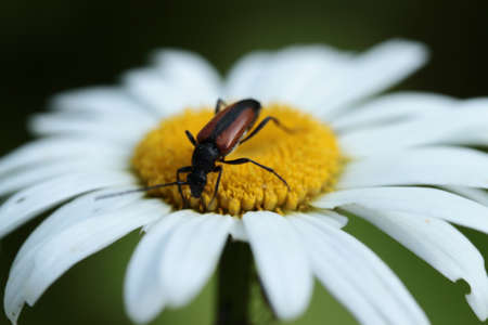 Beetle on a daisy flower
