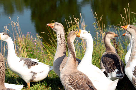 The gray and white geese near a pond on the farm.