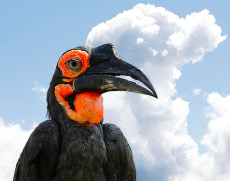 The Southern Ground Hornbill or Bucorvus leadbeateri, formerly known as Bucorvus cafer.