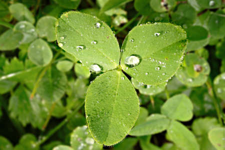 Clover with drops of dew on the leaves