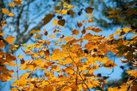yellow leaves of maple  photo