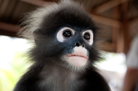 creationism: portrait of a wild monkey Stock Photo