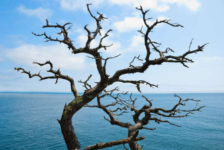 branched dead tree against a background of sea and sky photo