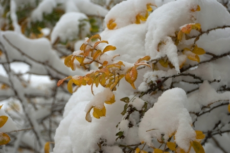 branch with yellow leaves covered with snow photo