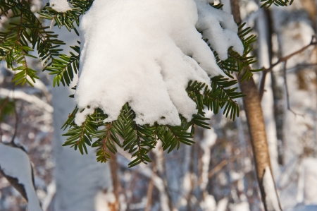 green branch of fir-tree covered with snow photo