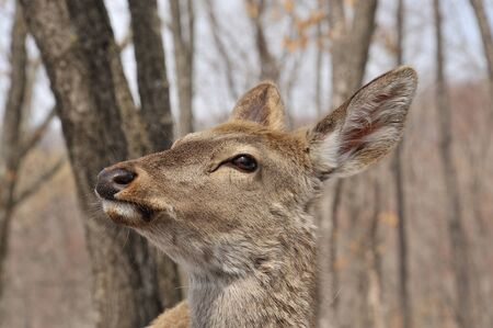 portrait of deer, deer female in park in winter, deer in the forest photo