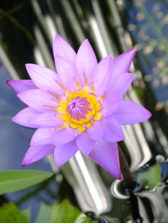 enriched: Water lily Stock Photo
