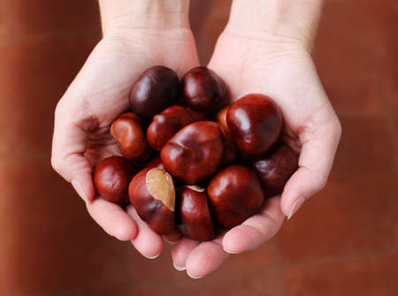 Beautiful brown chestnuts in the woman hands
