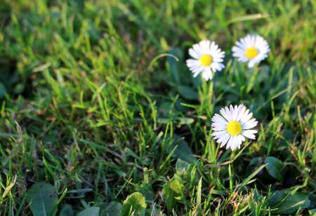 Beautiful white daisy flower in the garden Reklamní fotografie