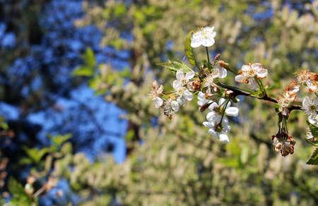 Detail of spring tree with white bloom Reklamní fotografie