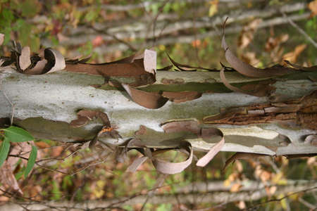 Vertical sycamore tree trunk