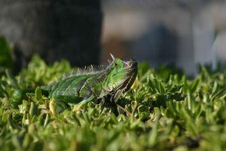 lizzard: Green Iguana Looking at Camera Stock Photo