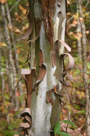 bark peeling from tree: Sycamore Tree Trunk