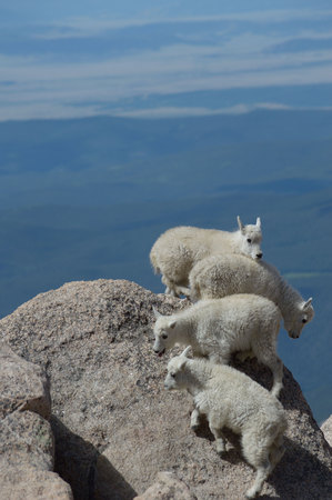 mount evans: Mountain goat kids near the summit of Mount Evans, CO.