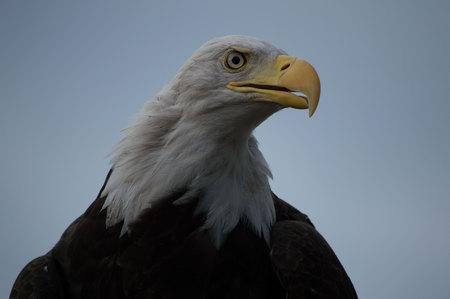 visions of america: Bald Eagle