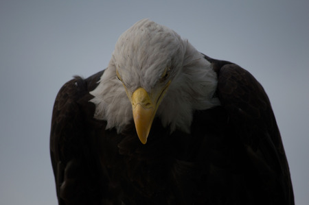 visions of america: Bald Eagle
