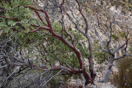 Angeles Forest Manzanita