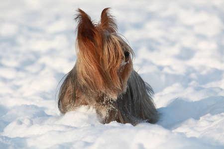 silky terrier: Dog, Silky Terrier, che � la deriva neve Archivio Fotografico
