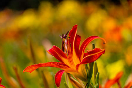 day lily: Beautiful red and yellow day lily flower