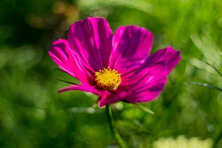 herbera: Red Gerbera Flower, closeup, very shallow depth of field