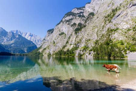 eagle nest rock: Alpine cow drinking water from Obersee lake, Konigssee, Germany
