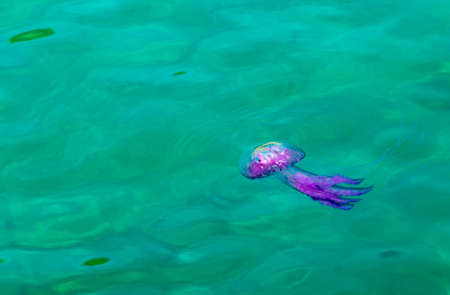 Jellyfish,Pink Jellyfish in the sea. Stock Photo