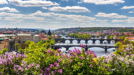 The blooming bush of lilac against Vltava river and Charles bridge, Prague 스톡 콘텐츠