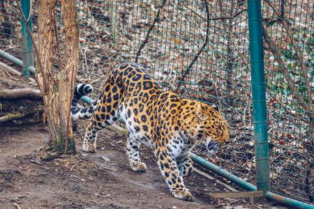 Beautiful leopard walking on nature background. In zoo. Prague, Czech Republic. Leopard in a Prague Zoo.