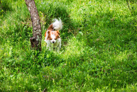Little puppy is running happily in garden with green grass Banque d'images - 137153161