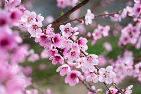 Flowering cherry against a blue sky. Cherry blossoms. Spring background. Blossoming cherry trees in spring. Spring Cherry blossoms, pink flowers.