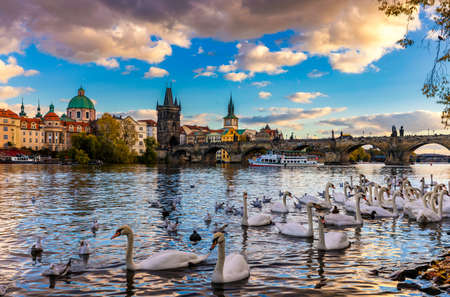 View of Prague Charles bridge near the Vltava river. Swan on the river. Swans swim in the Vltava river. Charles Bridge at sunset, Swans swim. Charles Bridge in Prague with swans in the foreground. Banco de Imagens