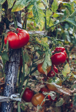 Red and green tomatoes grow on twigs summer. Ripe natural tomatoes growing on a branch in a greenhouse. Ripe garden organic tomatoes ready for picking. Stock fotó - 145650199