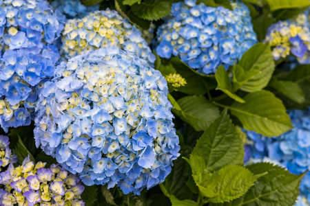 Blue and white hydrangeas in Azores islands. Azores. Portugal. Blue hydrangea from the Azores islands Stok Fotoğraf