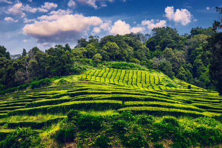 Tea plantation in Porto Formoso. Amazing landscape of outstanding natural beauty. Azores, Portugal Europe. Tea plantation on the north coast of Sao Miguel Island in the Azores, Portugal.