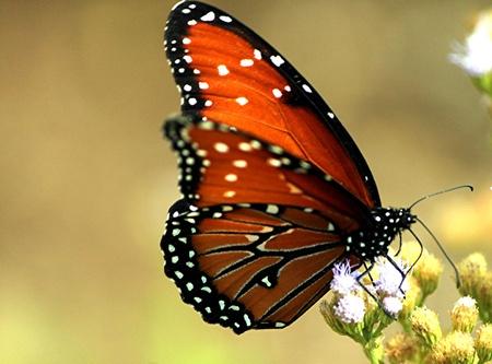 butterflies nectar: Monarch Butterfly