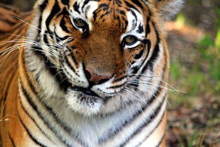 Confus Tiger Banque d'images - 16501150