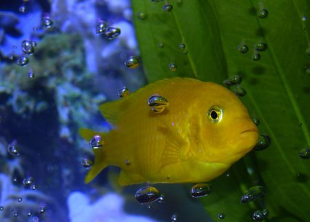 fishtank: This guy is the boss of the tank Stock Photo