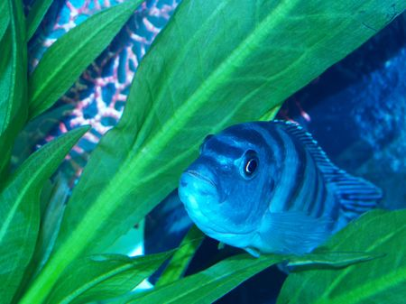 cichlid: She is pregnant but guss what? Its not in her belly, its in her mouth. Female Kenyi breed in their mouth. She releases eggs and puts them in her mouth. The male shivers his body and releases seamen. She gobbles up his seamen and rolls it in her mouth wi