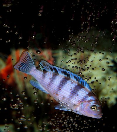 cichlid: This is a baby African Kenyi Cichlid itching himself on some bubbles.  Beautiful coloration on this little girl!  Aint She Georgeous?