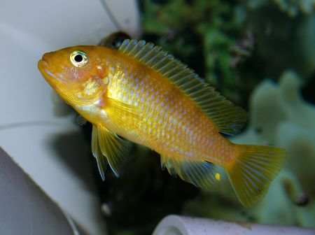 cichlid: Look at that little guy.  When they stick their fins out like that they are trying to show that they are big and tough. Stock Photo