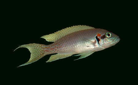 cichlid: Cut out and ready for easy placement in your ad.  This is a Brichardi Cichlid.   Very nice coloration on this fish.  It is hard to see the colors on them since they are so small.  They are small but they sure do know how to hold their own.  The big ones w