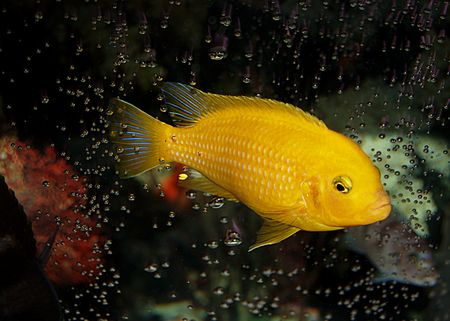 fishtank: Nice bubble pattern around this male Kenyi African Cichlid. Notice that this is the most dominant cichlid in the tank.  He lost all of his blue coloration and even his stripes!  If you look really closely you will see a female cichlid below him looking up Stock Photo