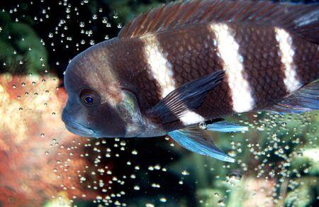 どのような写真にタフな魚。ここでの色が上のスポットです !この Frontosa シクリッドにゼブラ ストライプがダサくあなたメートルのすべてを完全