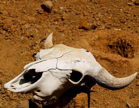 left behind: Cow Skull Left Behind