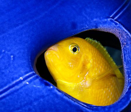 cichlid:  male African Kenyi Cichlid Stock Photo